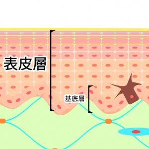 表皮を作る基底層の役割
