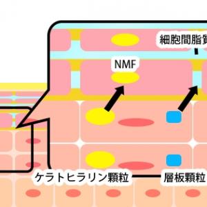 細胞の角化で作られる保湿成分「NMF」と「細胞間脂質」